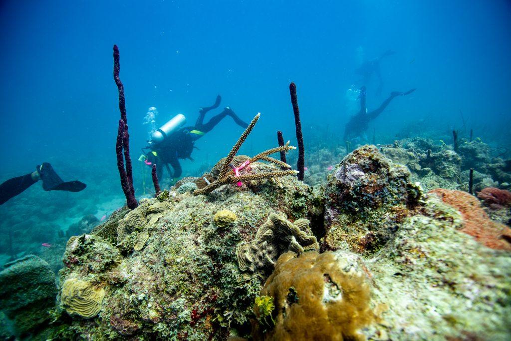 CORALMANIA 2019: EVENTO DE TRASPLANTE MASIVO DE CORALES EN BAYAHIBE