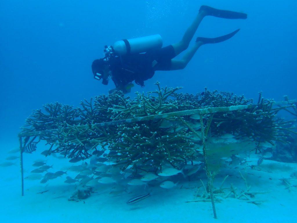 Mejoran el manejo de viveros de coral submarinos en República Dominicana